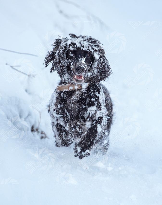 A dog runs through heavy snow in Lauder Scotland